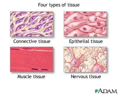 4 Tissue Types